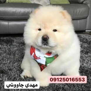 خرید سگ چاوچاو